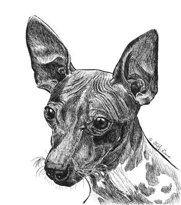 352x400 Jack American Hairless Terrier Animal Art By Stephanie Grimes