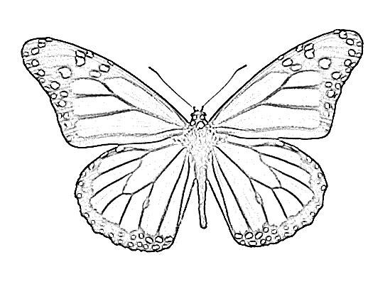 549x400 Butterfly Animal Sketch