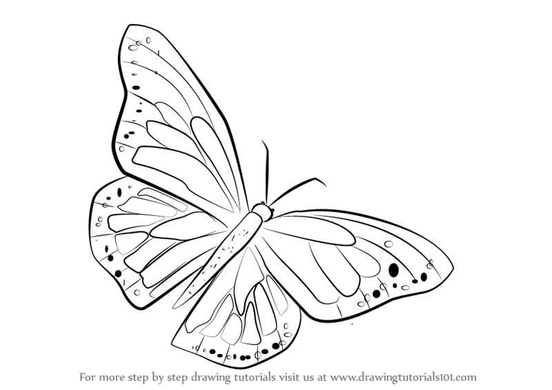 800x565 Learn How To Draw A Monarch Butterfly (Butterflies) Step By Step