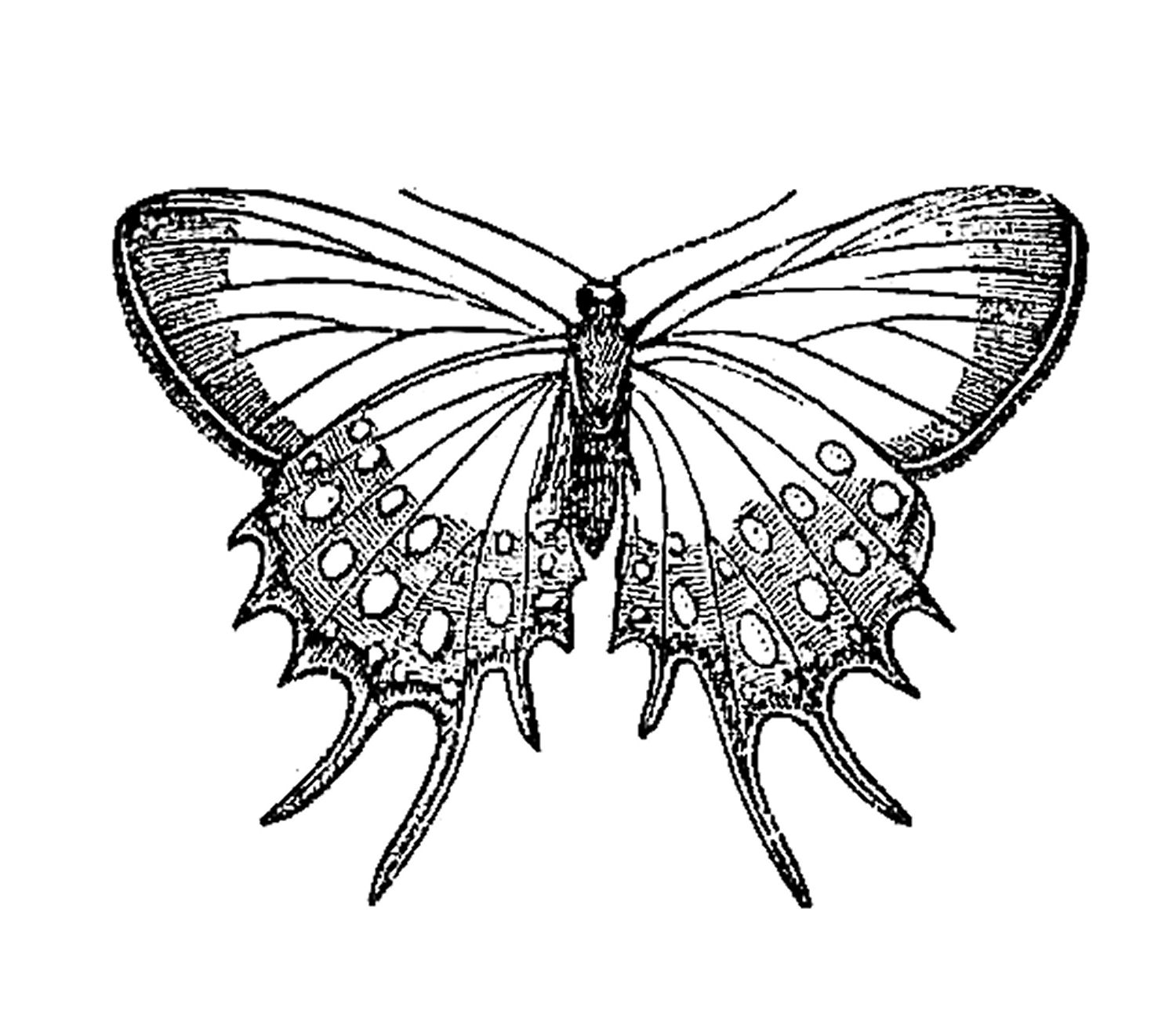 1500x1307 White Butterfly Drawing