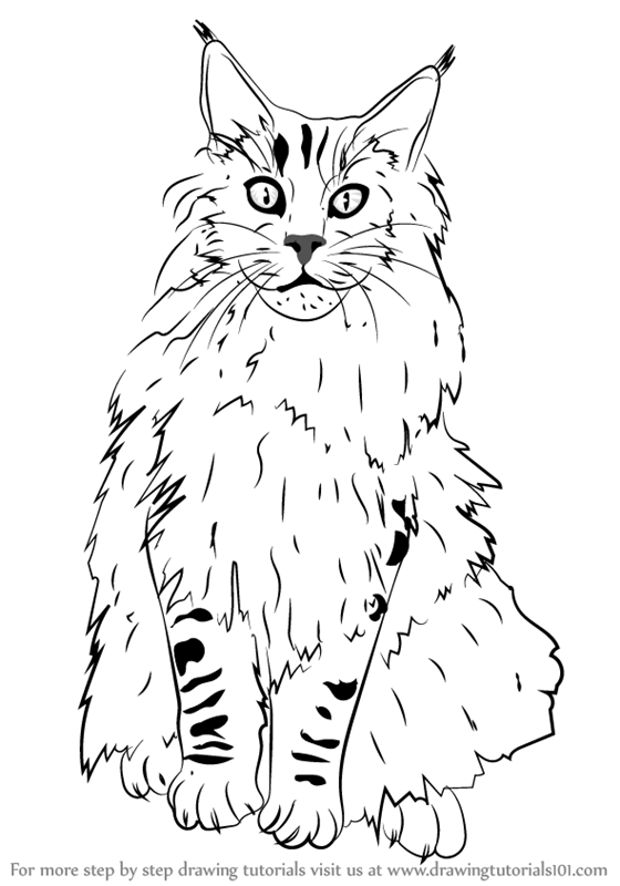 560x800 Learn How To Draw A Maine Coon (Cats) Step By Step Drawing Tutorials