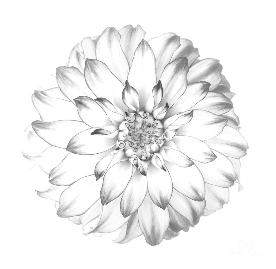 900x877 Dahlia Flower As Drawing In Black And White. Photograph By
