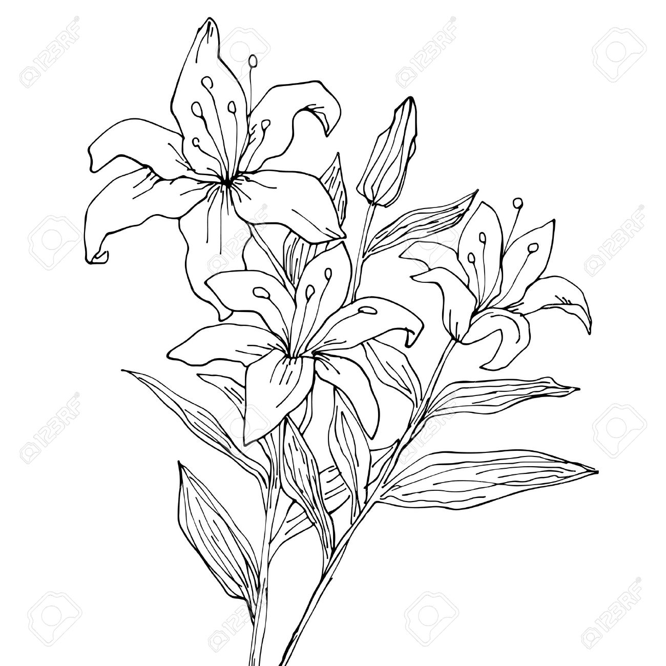 1300x1300 Lily Flowers Isolated Hand Drawing Illustration Royalty Free