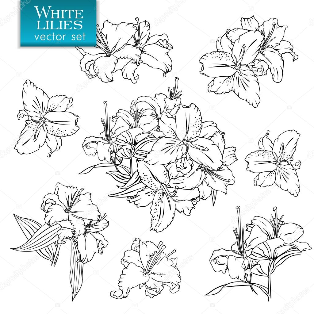 1024x1024 Outline Drawings Of White Lilies Stock Vector Nevada31