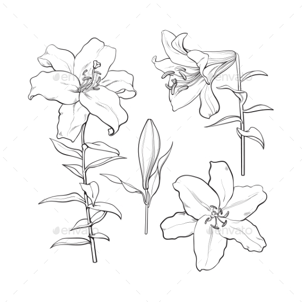 White Lilies Drawing at GetDrawings.com | Free for personal use ...