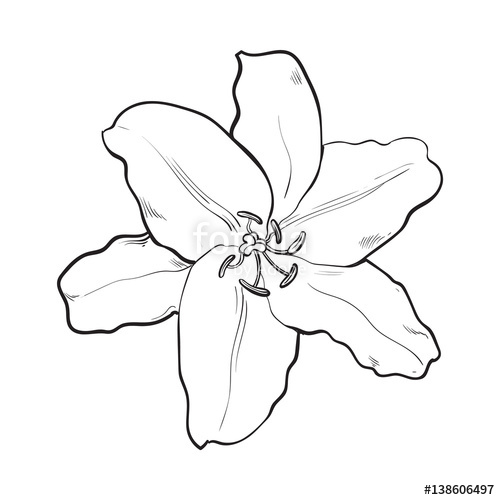 500x500 Single Hand Drawn White Lily Flower, Top View, Sketch Style Vector