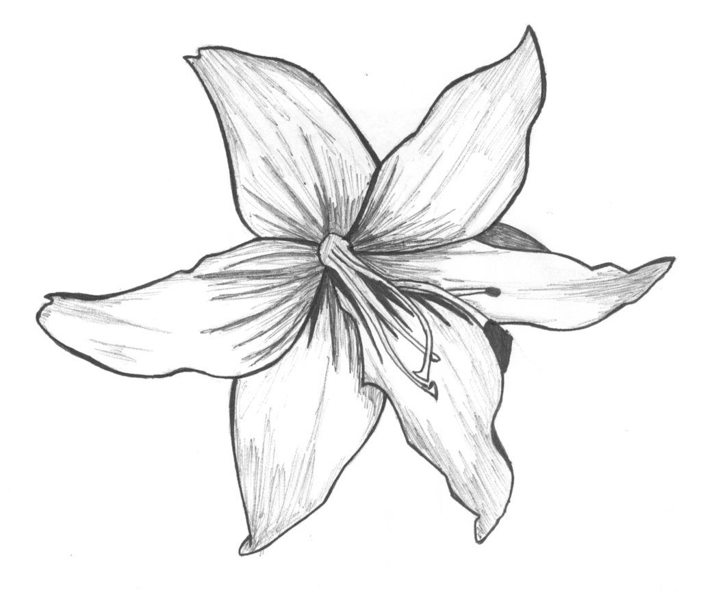 White Lily Drawing At Getdrawings Free For Personal Use White
