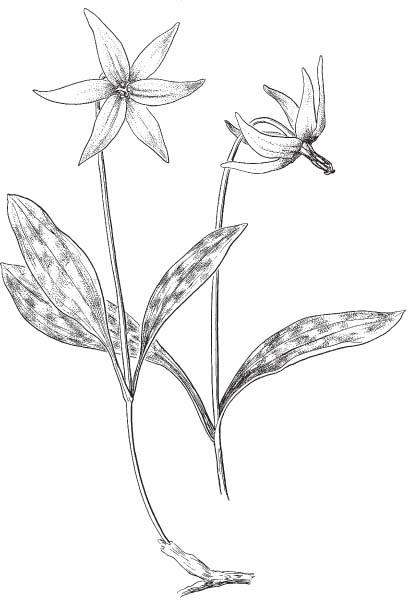 409x612 The Wild Garden Hansen's Northwest Native Plant Database