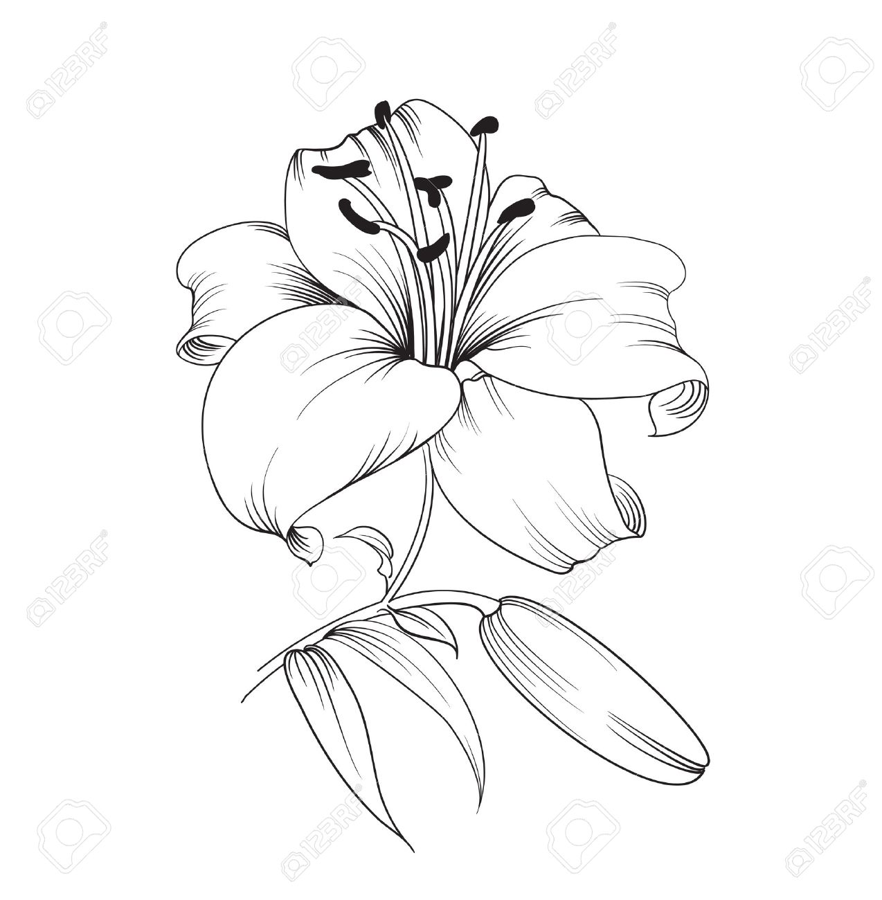 1274x1300 White Lily Isolated On A White Background. Card With Blooming