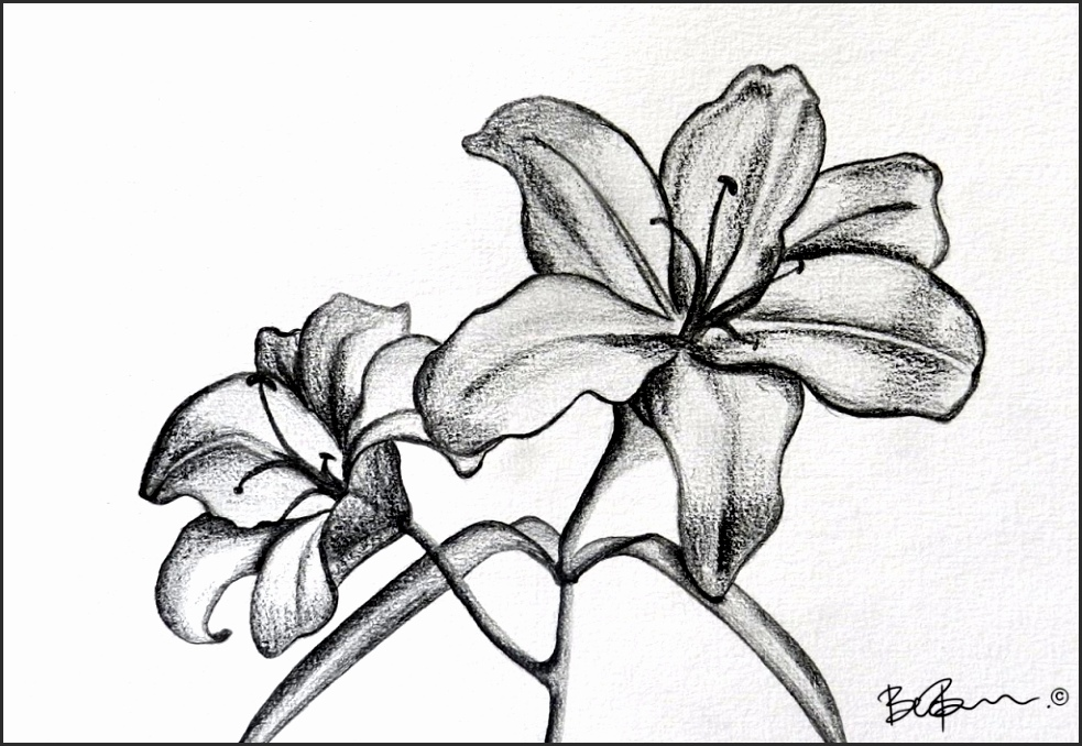 983x678 Drawings Of Lilies Flower Nklpy Best Of Drawing Lily Flower 8cz