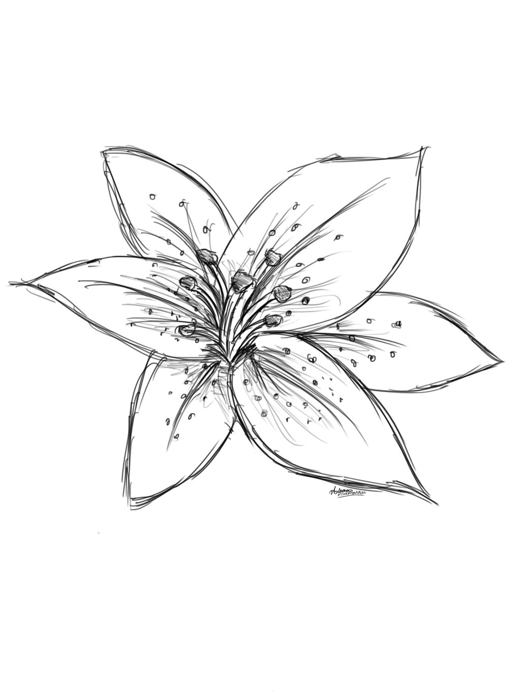 1024x1365 Lily Flower Drawings