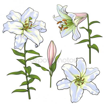 450x450 Set Of Hand Drawn White Lily Flowers, Side, Top View Stock