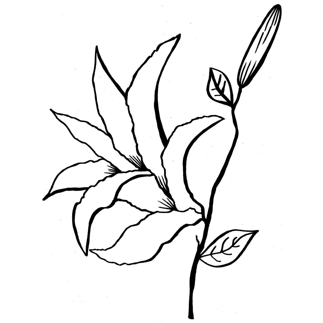 1224x1224 Adult Coloring Pages Lily Flowers