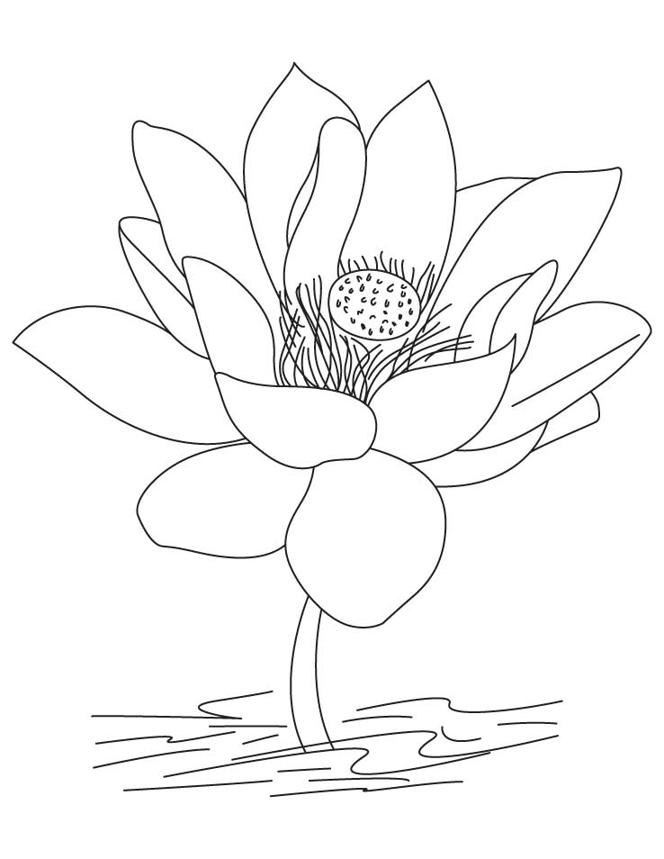 White lotus flower drawing at getdrawings free for personal 738x954 drawn lotus national flower ccuart Choice Image