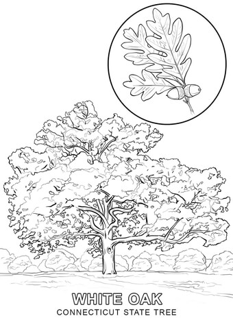 340x480 Connecticut State Tree Coloring Page Free Printable Coloring Pages