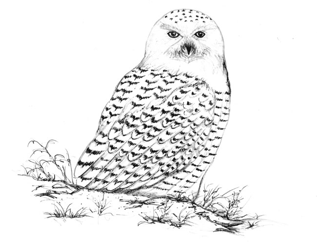 White Owl Drawing