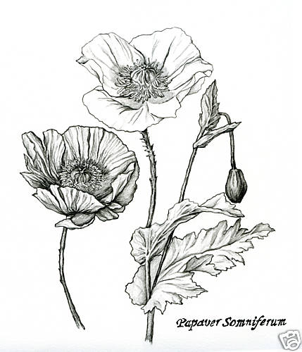 429x500 Pencil flower drawings of poppy and ginger nutmeg plants Tattoos