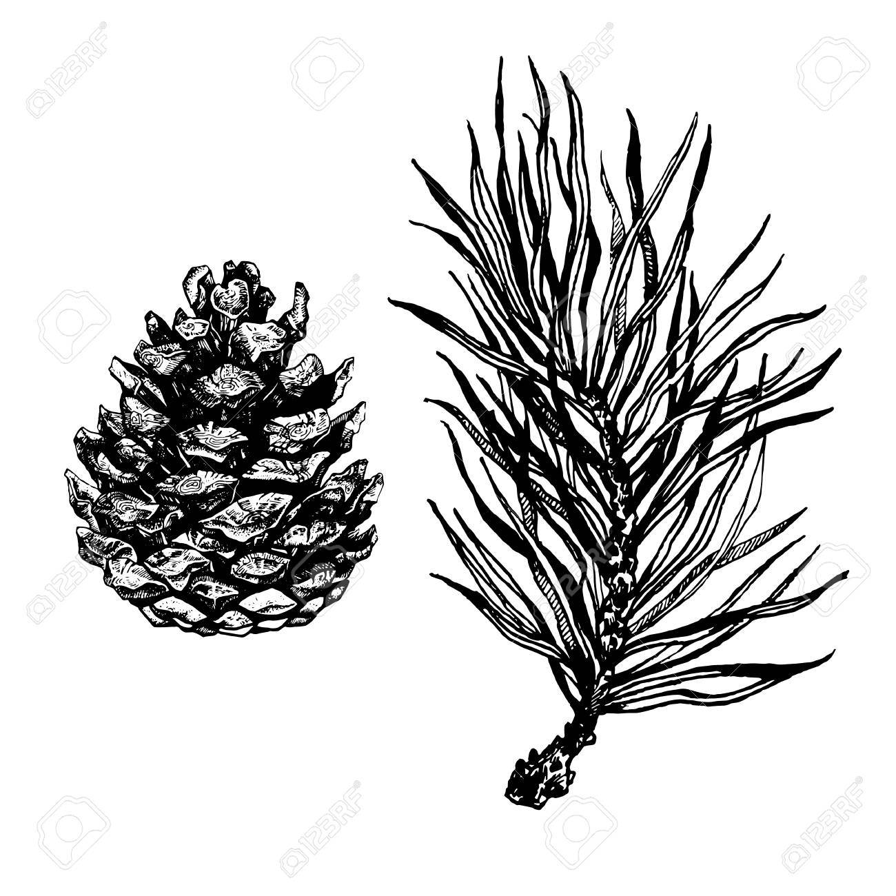1300x1300 Hand Drawn Pine Tree Branch And Pine Cones Isolated On White