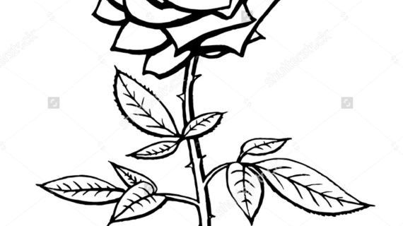 570x320 Black And White Rose Drawing Vector