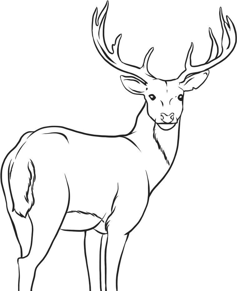759x931 Pictures Whitetail Deer Drawings Free,