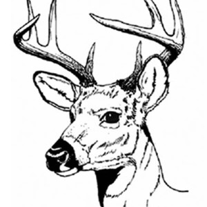 white tailed deer drawing at getdrawings com free for personal use