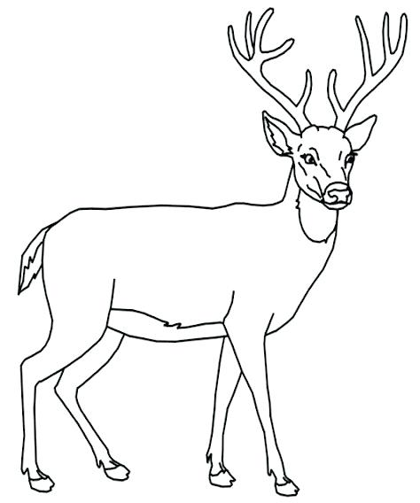 white tailed deer drawing 5