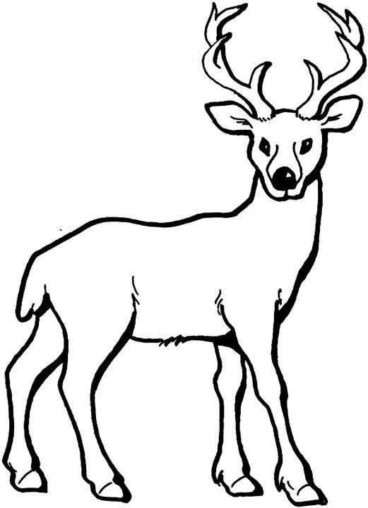 521x720 Coloring Pages Draw A Deer White Tailed Deer Fawn Drawing Images