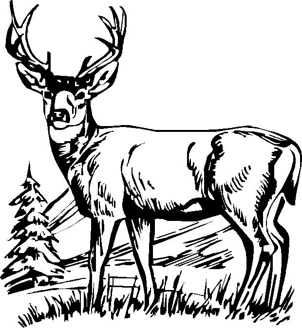 620x674 Deer Standing 3,