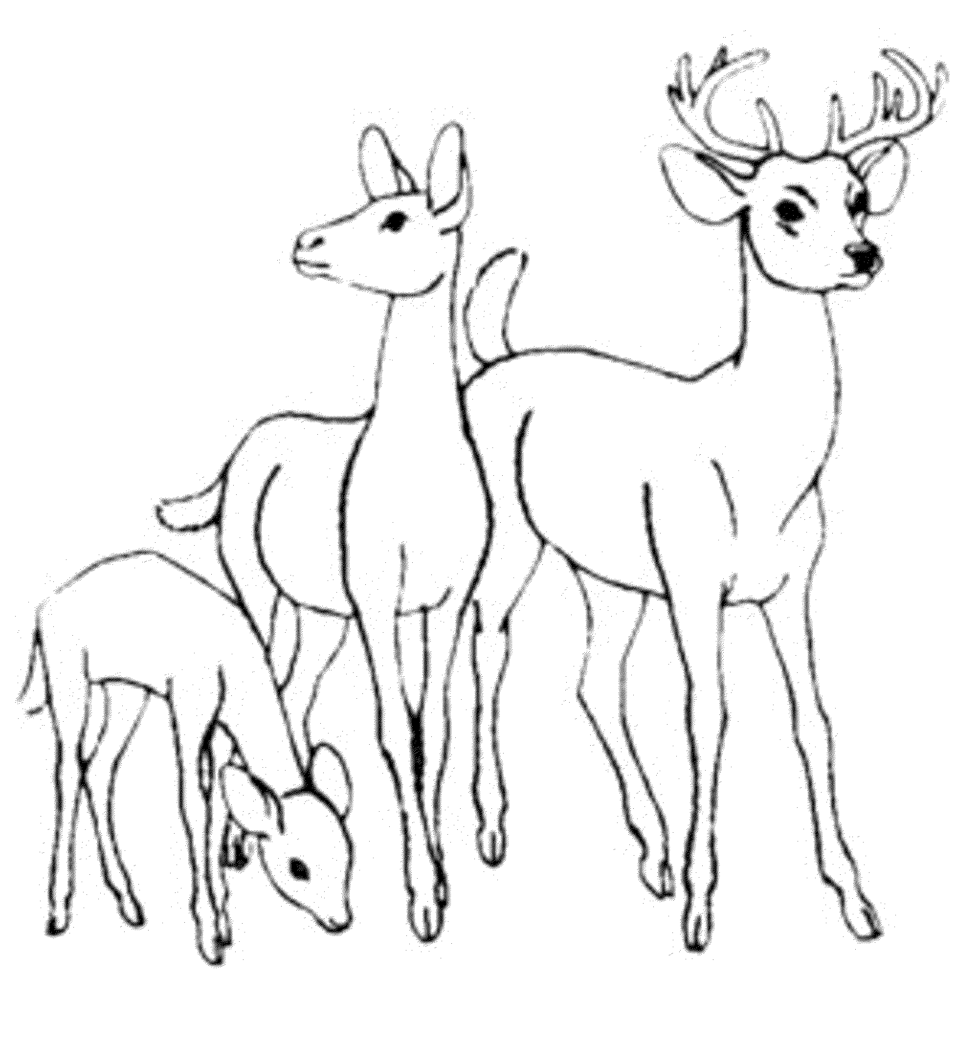 whitetail deer drawing 36