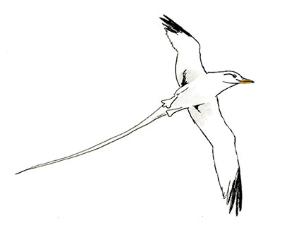 400x326 White Tailed Tropicbird. A Nature Sketch. Copic Markers Sketch