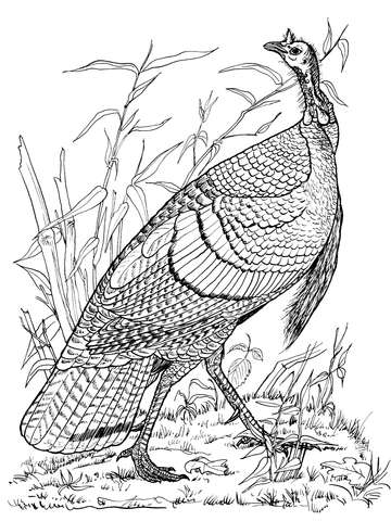 360x480 Wild Turkey Hen Coloring Page Free Printable Coloring Pages