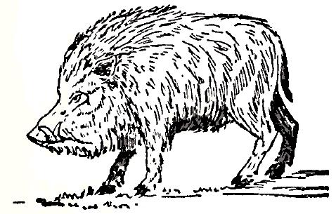 478x305 Filecollier's 1921 Hog Wild Boar.png