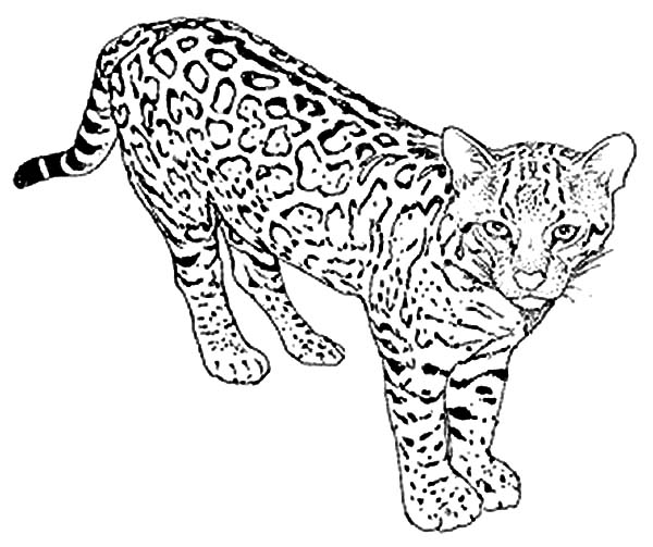 600x503 Wild Cat Leopard Coloring Pages Batch