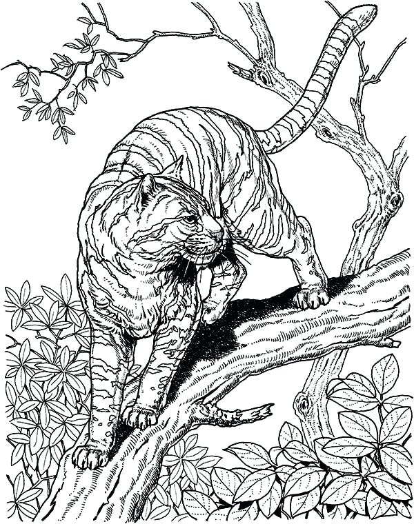 600x760 Wild Cat Coloring Pages Genesisar.co