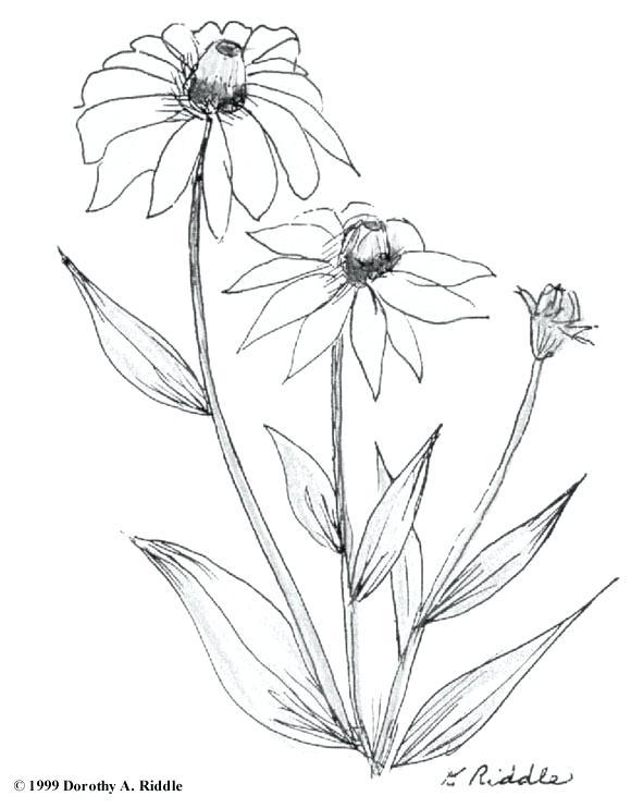 Rose Plant Drawing At Getdrawings Com