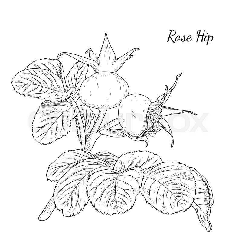 800x800 Rose Hip. Dog Rose. Hawthorne. Wild Bush Plant Branch With Ripe