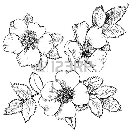 444x450 7,027 Wild Rose Stock Illustrations, Cliparts And Royalty Free