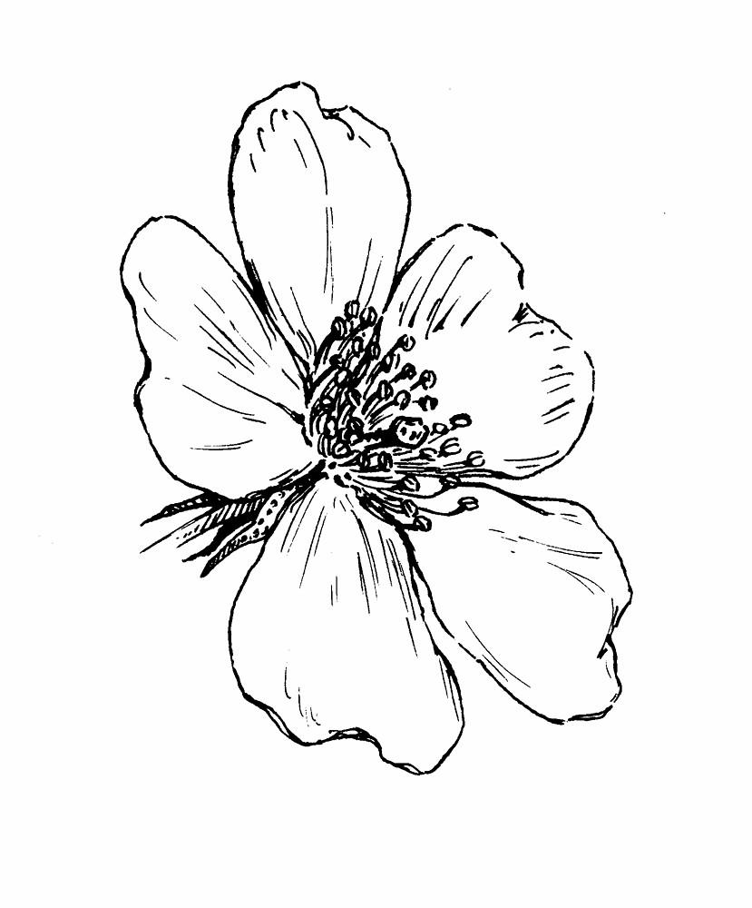829x1000 Wild Rose Flower Drawing 21869 Baidata