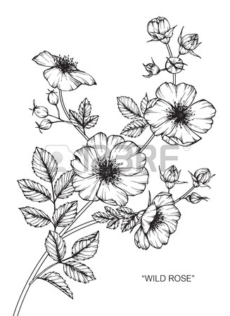 327x450 Wild Rose Flower. Drawing And Sketch With Black And White Line Art