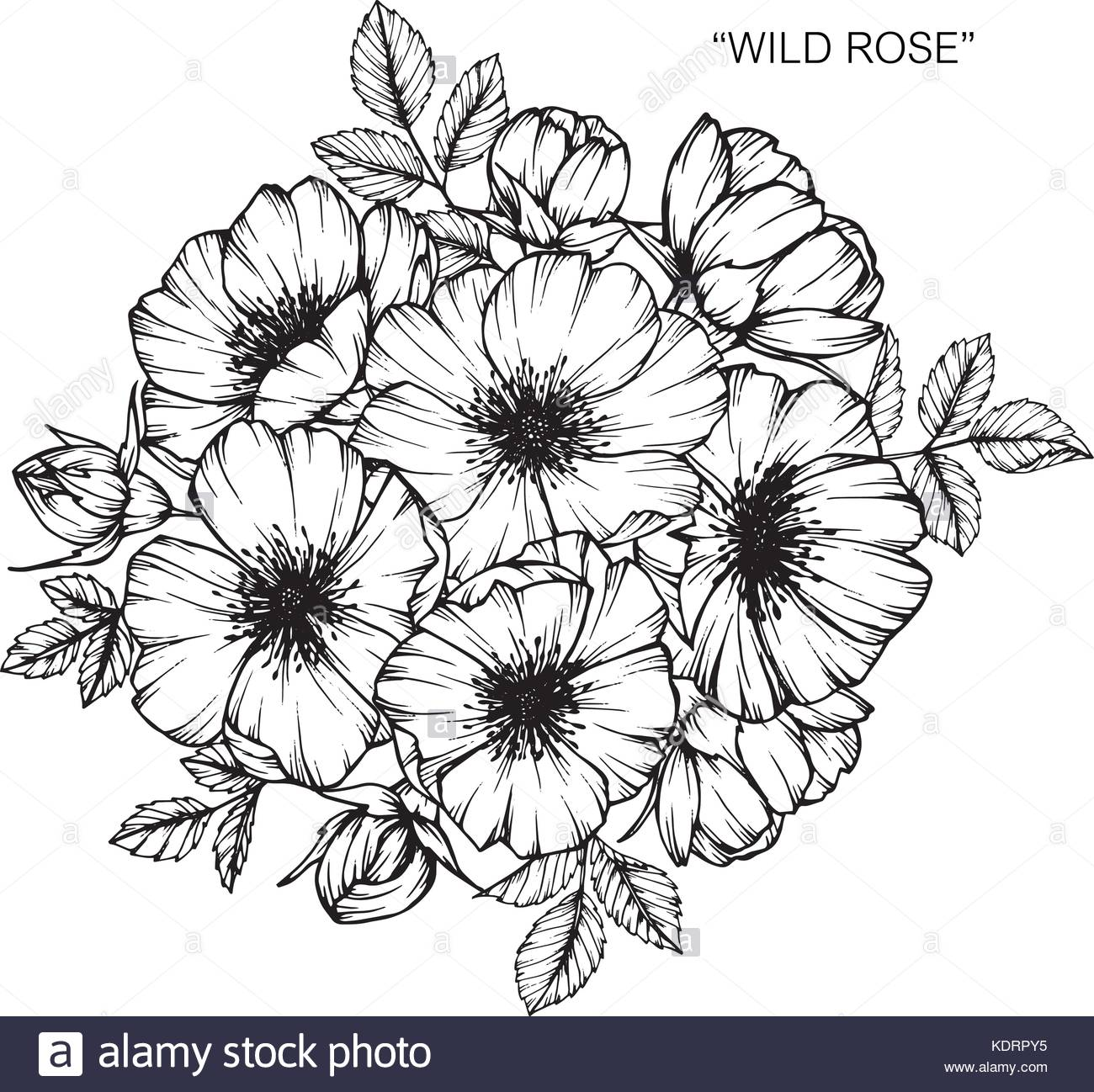 1300x1298 Wild Rose Stock Vector Images