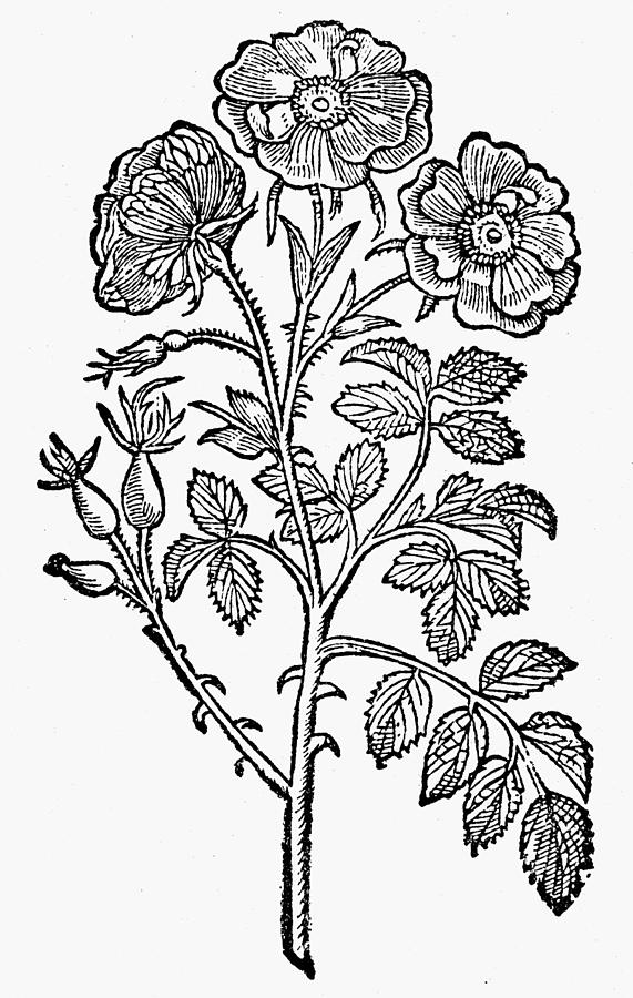 571x900 Botany Double Wild Rose Drawing By Granger