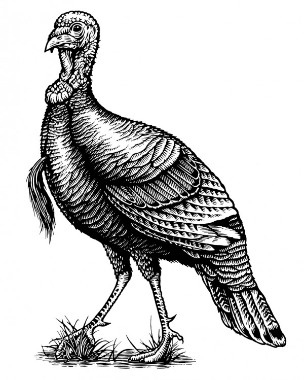 600x749 Wild Turkey Bourbon Hire An Illustrator