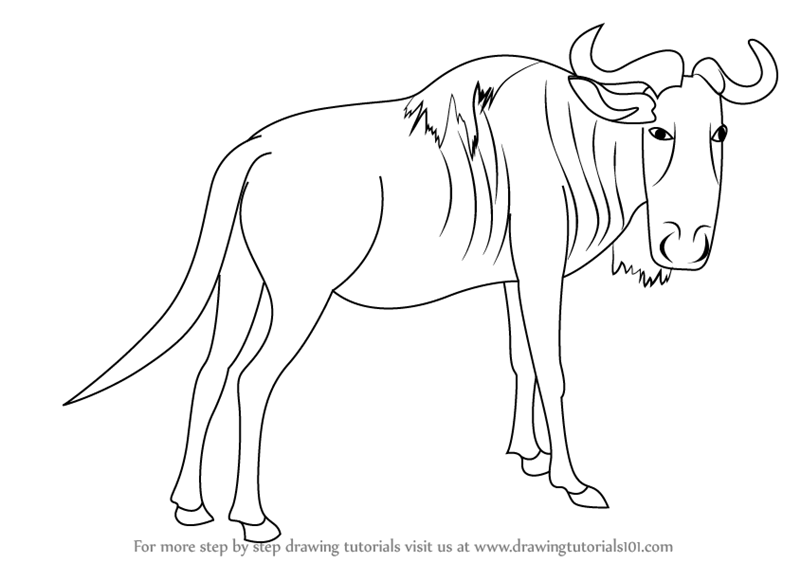 800x563 Learn How To Draw A Wildebeest (Wild Animals) Step By Step