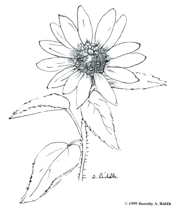 580x691 Wildflower Coloring Pages Celebrating Wildflowers Coloring Pages