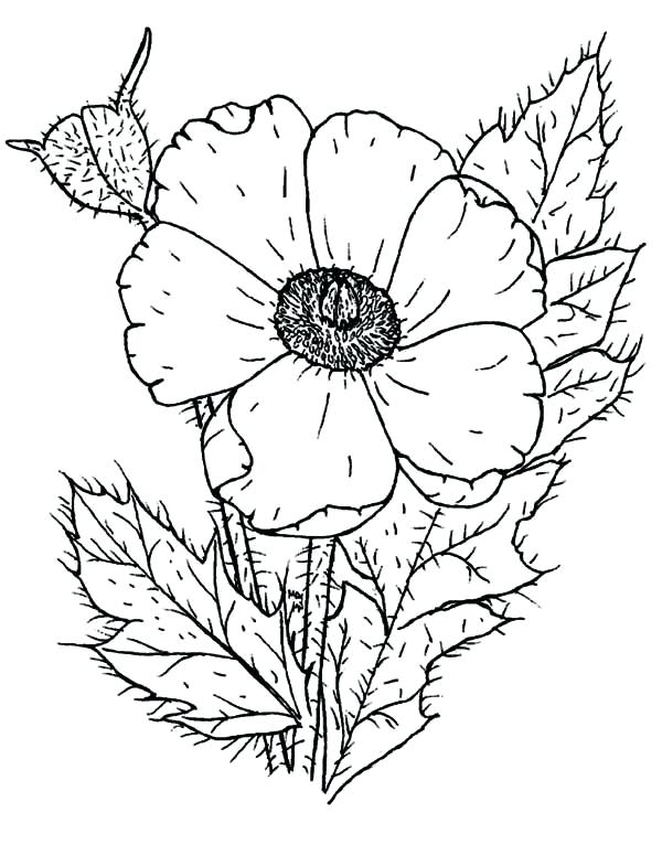600x785 Wildflower Coloring Pages Photo Of Poppy Page Printable