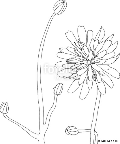 416x500 Wildflower Line Drawing Illustration. Flower Art Isolated On White