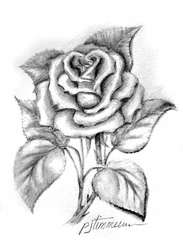 Wilted Rose Drawing