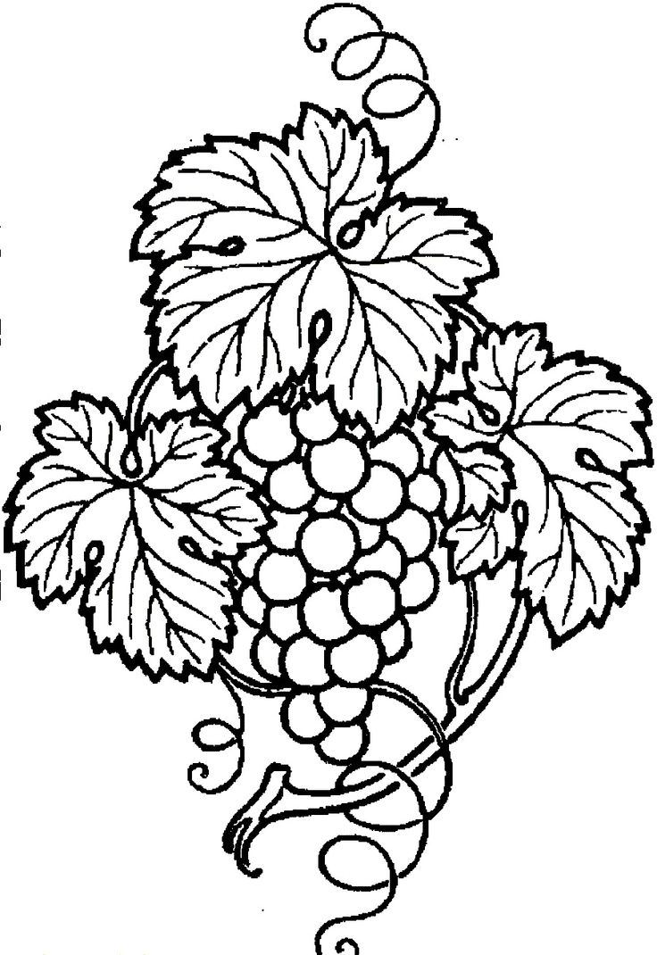 Wine Grapes Drawing