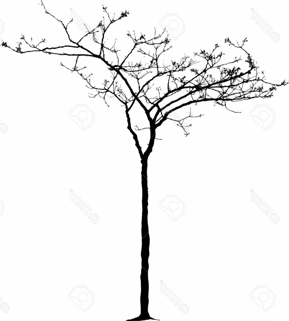 923x1024 Small Tree Drawing Vector Drawing Small Naked Winter Tree Stock