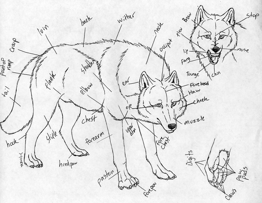 Wolf Drawing Tutorial at GetDrawings.com | Free for personal use ...